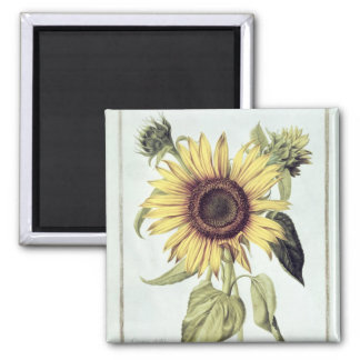 Helianthus Annuus from 'Velins du Roi Vol.36' Magnet