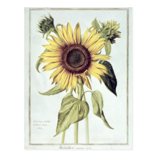 Helianthus Annuus from 'Velins du Roi Vol.36' Post Card