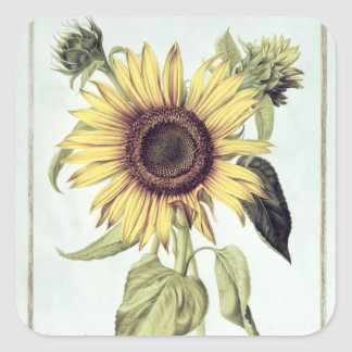Helianthus Annuus from 'Velins du Roi Vol.36' Square Sticker