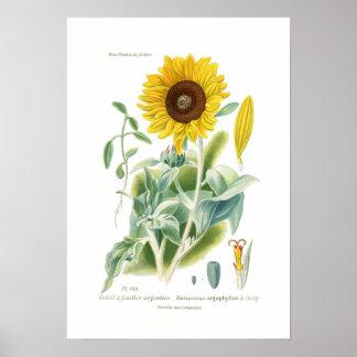 Helianthus argophyllus poster