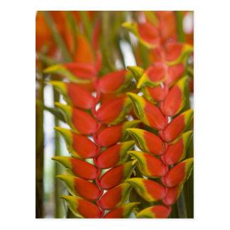 Heliconia colgante, fruta semanal de martes y tarjetas postales