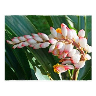 Heliconia Hawai i Postales