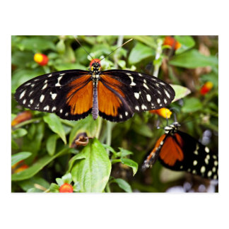 Heliconius Butterfly Postcard