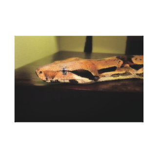 Helix, Boa constrictor imperator Canvas Print