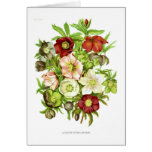 Hellebores Greeting Card