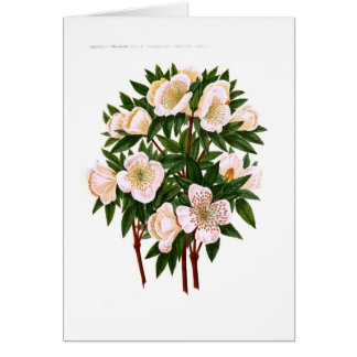 Helleborus niger (Christmas Rose) Greeting Card