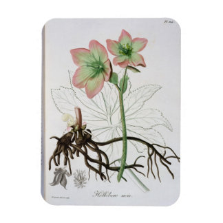 Helleborus Niger from 'Phytographie Medicale' by J Magnet