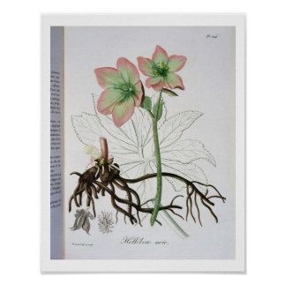 Helleborus Niger from 'Phytographie Medicale' by J Posters