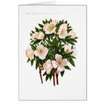 Helleborus Niger (rosa de navidad) Tarjetón