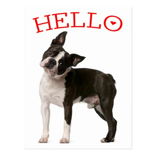 hello boston terrier puppy dog red thinking of you
