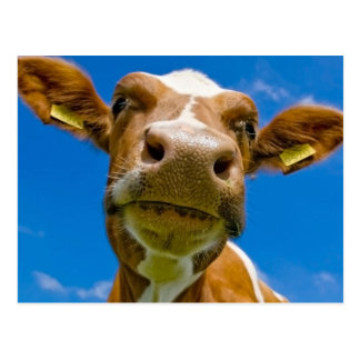 Hello From a Cow Postcard