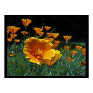 Hello Poppies Large Posters & Prints