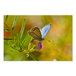 Hello Spring Blue Butterfly on Everlasting Pea Poster