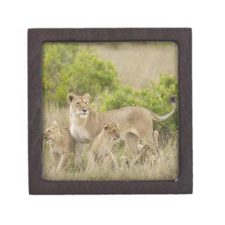Hembra adulta del león africano con los cachorros, cajas de recuerdo de calidad