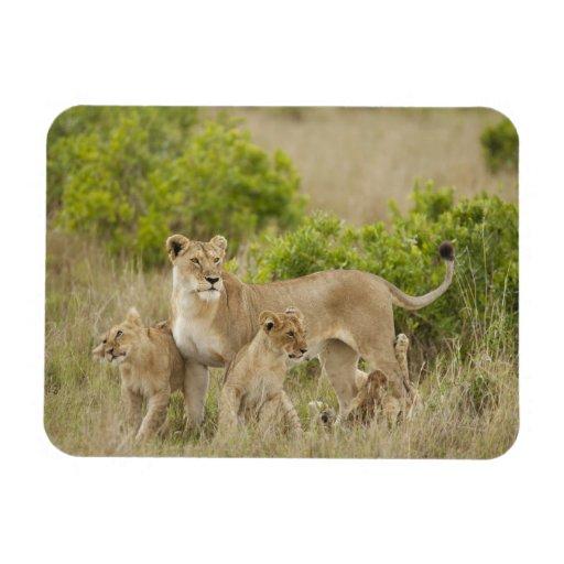 Hembra adulta del león africano con los cachorros, iman
