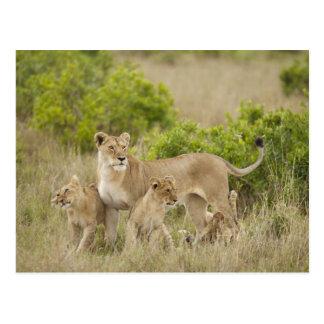 Hembra adulta del león africano con los cachorros, postal