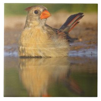 (Hembra cardinal septentrional 3 de los cardinalis Azulejos