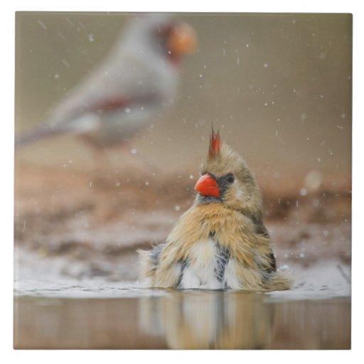 (Hembra cardinal septentrional de los cardinalis d Tejas