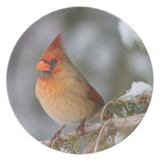 Hembra cardinal septentrional en árbol spruce en plato