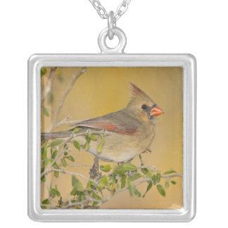 Hembra cardinal septentrional encaramada en rama colgante cuadrado