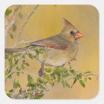 Hembra cardinal septentrional encaramada en rama pegatina cuadrada