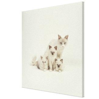 Hembra del gato de Ragdoll con los gatitos Lona Envuelta Para Galerias