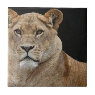 Hembra del león que se acuesta azulejo cuadrado pequeño