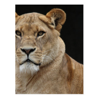 Hembra del león que se acuesta postales