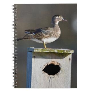 Hembra del pato de madera en nidal en humedal libreta