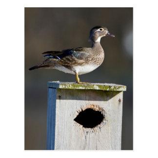 Hembra del pato de madera en nidal en humedal postal