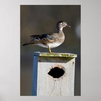 Hembra del pato de madera en nidal en humedal póster