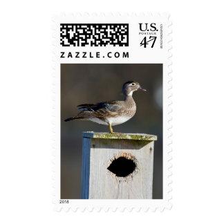 Hembra del pato de madera en nidal en humedal sello postal