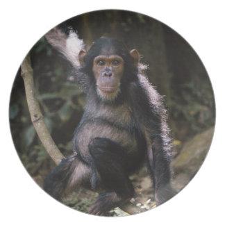 Hembra joven del chimpancé platos de comidas