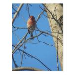 Hembra/pájaro cardinales tarjetas postales