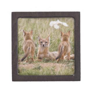 Hembra rápida del Fox (velox del Vulpes) con los j Caja De Joyas De Calidad