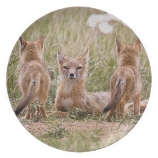 Hembra rápida del Fox (velox del Vulpes) con los j Plato Para Fiesta