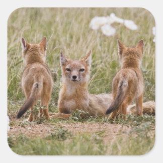 Hembra rápida del Fox (velox del Vulpes) con los Pegatina Cuadrada