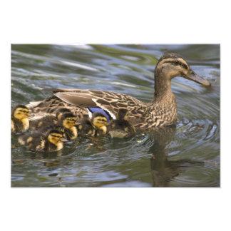 Hembra y chicksAnas del pato del pato silvestre Cojinete
