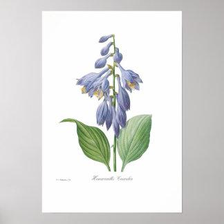 Hemerocallis caerulea (Hosta) Poster
