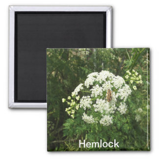 Hemlock Magnet
