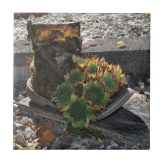 Hen and Chicks boot Tile
