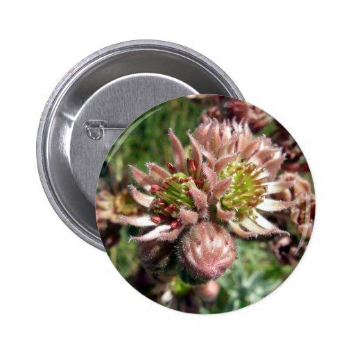 Hen and chicks (Sempervivum) flowers Pinback Buttons