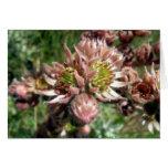 Hen and chicks (Sempervivum) flowers Card