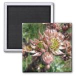 Hen and chicks (Sempervivum) flowers Fridge Magnets