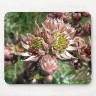 Hen and chicks (Sempervivum) flowers Mouse Pad