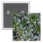 Hen & Chicks succulent with frost in the early Pinback Button