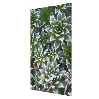 Hen & Chicks succulent with frost in the early Canvas Print