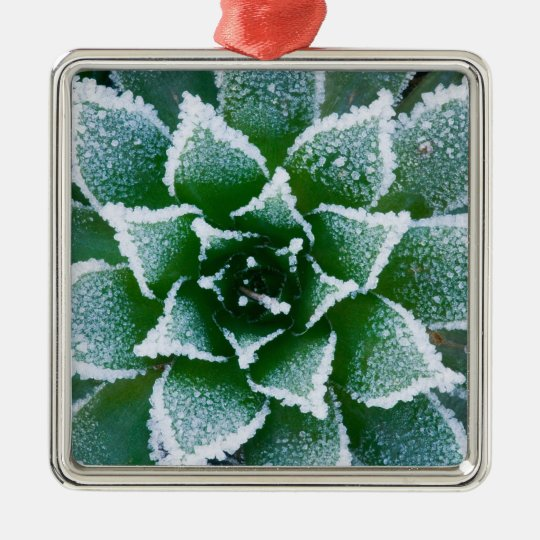Hen & Chicks succulent with frost in the early Metal Ornament
