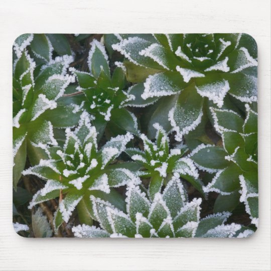 Hen & Chicks succulent with frost in the early Mouse Pad