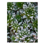 Hen & Chicks succulent with frost in the early Postcard